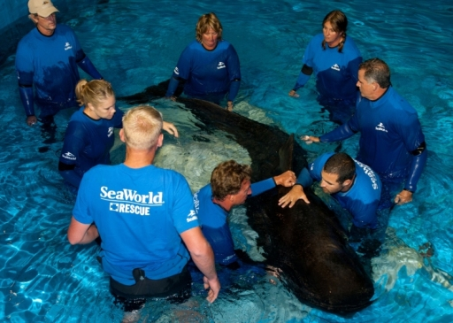 Pilot whale 300 arrives at SeaWorld Orlando, Sept 12, 2011/SeaWorld Orlando, Orlando Sentinel
