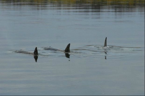 Three killers whales in Nushagak River, southwestern Alaska, Oct 6, 2011/Jon Sharp, Anchorage Daily News, adn.com