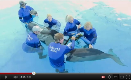 Pilot whale 300 being fitted with specially designed brace, SeaWorld Orlando, undated/SeaWorld Orlando, Yaytez, YouTube.com