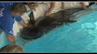 Pilot whale calf 301 arrives at SeaWorld Orlando, July 23, 2011/7News, wsvn.com, Miami.pointslocal.com