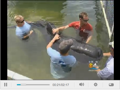 Caroline (aka 300) and helpers, Marine Mammal Conservancy, Key Largo, FL, Aug 19, 2011/CBS 4 Miami, miami.cbslocal.com