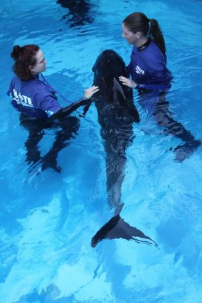 Marine Mammal vet Deborah Fauquier & animal care tech Jenna Rouse with rescued melon-headed whale named Dante, Mote Marine Laboratory Dolphin and Whale Hospital, Oct 25, 2011/Mote Marine Laboratory, Bradenton Herald, Bradenton.com