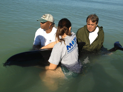 Melon-headed whale with rescuer Ralph Valanzuolo (in jacket), Mote Marine Lab's Emma Jugovich & Mote volunteer David Carnes, Manasota Key, FL, Oct 23, 2012 Beth Silverstein, Mote Marine Laboratory, mote.org