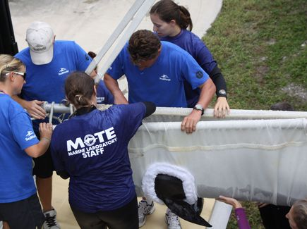 Dante is transferred from Mote Marine Laboratory to SeaWorld Orlando, Oct 28, 2011/Bradenton Herald