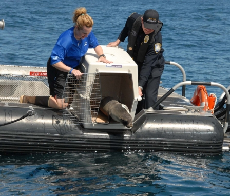 Port of San Diego Harbor Police Officer Randall Benton helps SeaWorld San Diego's Jody Westberg release rehabilitated Guadalupe fur seal of Baja, CA, May 19, 2011/Port of San Diego Harbor Police, flickr.com