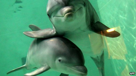 Unidentified Bottlenose dolphins, place & date unknown/AFP, BBC World News, bbc.co.uk