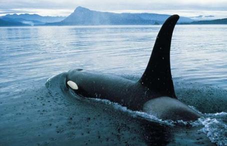 Killer whale, Vancouver, BC, June 14, 2007/Merlin Archive, Tourism BC. SIKU News, sikunews.com