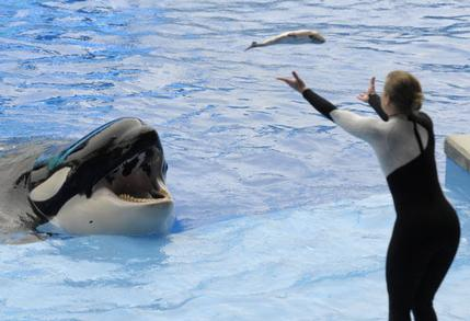 "Unidentified trainer performs poolside with Kalina (now deceased) during a ""Believe"" show three days after Dawn Brancheau's death, SeaWorld Orlando, Feb 27, 2010/AP, The Palm Beach Post"