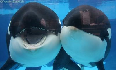 Kasatka & Kalia, SeaWorld San Diego, undated/RukatheBlackfish, flickr.com