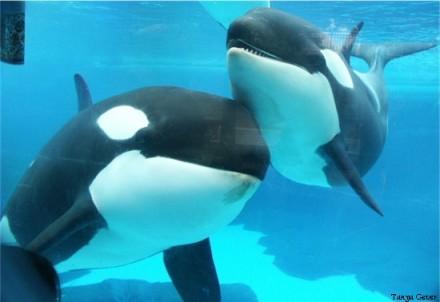 Takara & Kohana, SeaWorld San Diego, undated/Tanya Gever, Orca News 2006, oocities.org