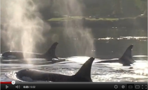 """A Better Way to See Orcas"" by Leah Lemieux & Lori Marino/delfinusdelphis, youtube.com"