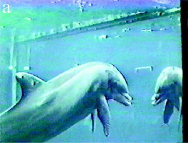 "Dolphin examines himself in mirror immediately after trainers apply mark to his melon (forehead)/Diana Reiss & Lori Marino, ""Mirror self-recognition in the bottlenose dolphin: a case of cognitive convergence,"" PNAS, May 8, 2001"