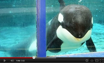 Morgan in her tank at Dolfinarium Harderwijk in the Netherlands, undated/ Free Morgan PSA, Dove Jones, YouTube.com