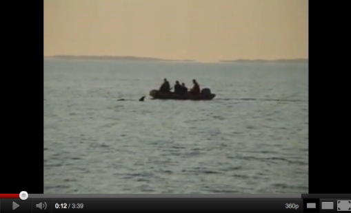 Morgan being rescued, Wedden Sea, Netherlands, June 23, 2010/Dolphinarium Harderwijk, YouTube
