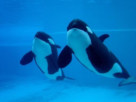 Nootka & Kiska, Marineland of Canada, undated/Marineland Canada's Orcas, amswmlc.bravehost.com