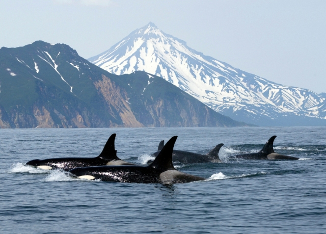 Killer whales (orcas), location & date unknown/thewhalepeople.com