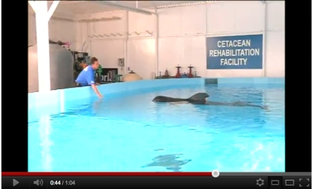 Pilot whale 301 and trainer, SeaWorld Orlando,  July  2011/Robert M. Breuer, WKMG Local 6 News, youtube.com