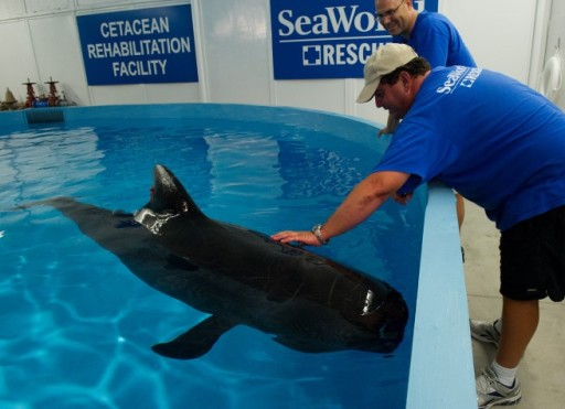 Pilot Whale 301 with unidentified SeaWorld staffer and head vet Chris Dold (background), SeaWorld Orlando, undated/orlandoskyradio.com