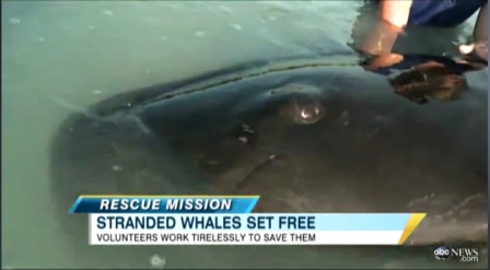 Stranded pilot whale, Cudjoe Key, FL, May 5-6, 2011/ABC News, abcnews.go.com