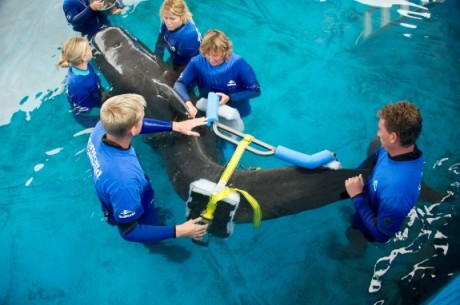 Pilot whale 300 being fitted with specially designed brace, SeaWorld Orlando, undated/Orlando Sentinel, blogs.orlandosentinel.com