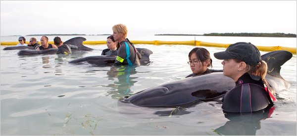 Volunteers with stranded pilot whales, Cudjoe Key, FL, May 6, 2011/ Bob Care, European Press photo agency, nytimes.com