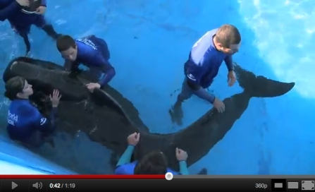 "Pilot whale ""300"" & SeaWorld staffers during therapy session, SeaWorld Orlando, Sept 20, 2011/SeaWorld, youtube.com"
