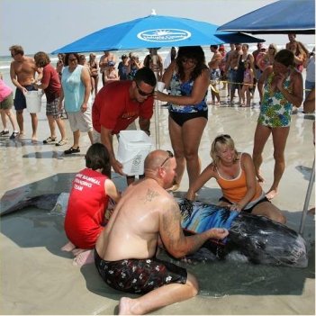 Beachgoers help stranded Risso's dolphin, New Smyrna Beach, FL, Sept 16, 2011/David Tucker, The Daytona Beach News-Journal, news-journalonline.com