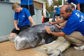 Stranded Risso's dolphin & SeaWorld Rescue workers, Sept 16, 2011/Orlando Sentinel, blogs.orlandosentinel.com