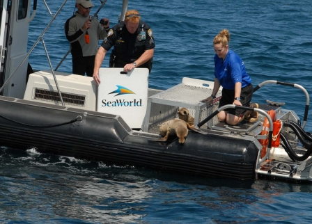 Port of San Diego Harbor Police Harbor Police Sergeant David Fouser helps SeaWorld San Diego's Jody Westberg and Brent Stewart of Hubbs-SeaWorld Research Institute release two rehabilitated sea lion pups off Point Loma, CA, May 19, 2011/Port of San Diego Harbor Police, flickr.com