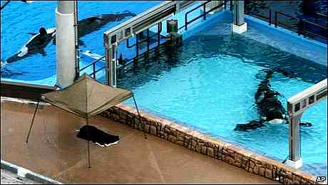 Tilikum (right) with Dawn Brancheau's body under canopy on the day of the attack, SeaWorld Orlando, Feb 24, 2010/AP, babyboomeradvisorclub.com