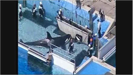Sumar's body is removed from tank as another orca, possibly Corky, stays close, SeaWorld San Diego, Sept 7 2010/nbcsandiego.com