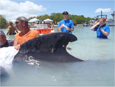 One of two male pilot whales rescued from May 5 Cudjoe Key stranding with transmitter attached to back of dorsal fin prior to release, Marine Mammal Conservancy, Key Largo, FL, May 6-7, 2011/Sarasota Dolphin Research Program, sarasotadolphin.org