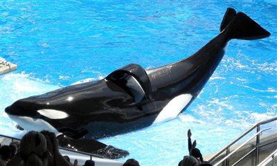 Tilikum, SeaWorld Orlando, May 6 2009/Milan Boers, flickr, PETA, peta.org