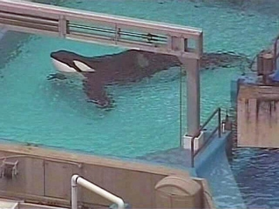 Tilikum in medical pool, SeaWorld Orlando, undated/My Fox Orlando, myfoxorlando.com
