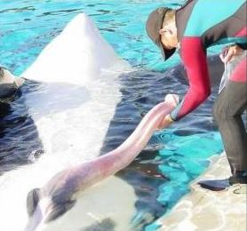 Unidentified trainer collecting sperm from Tilikum, SeaWorld Orlando, undated/thewinterdolphinchronicles