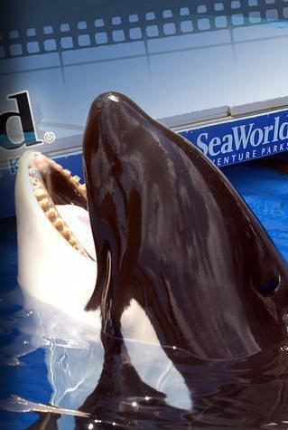 Tilikum with no teeth left at front of lower jaw, SeaWorld Orlando, undated/John Kielty, Orca Teeth and Premature Mortality, facebook.com
