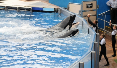 Tilikum & unidentified companion with trainers at tankside, SeaWorld Orlando, March 29, 2011/Gerardo Mora, Getty, zimbio.com
