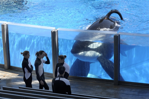 Tilikum watches trainers during break between performances, SeaWorld Orlando, March 7, 2011/ Phelan M. Ebenhack, AP, U.S.News, msnbc.com