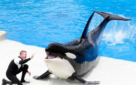 Unidentified orca and trainer at unidentified SeaWorld park/ALAMY, The Telegraph