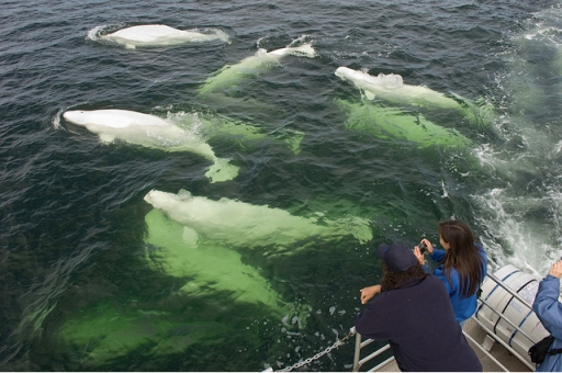 Beluga whales off Churchill, Manitoba, July 18, 2007/Travel Manitoba, flickr.com