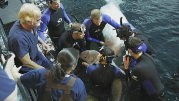 Maris and newborn female calf, Georgia Aquarium, May 18, 2012/Channel 2 Actions News, AJC.com
