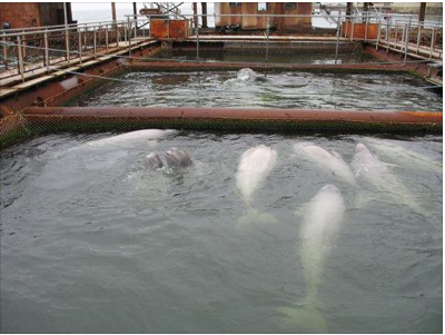 Holding pens for captured belugas (babies are gray), Vladivostock, Russia, undated/Save Misty the Dolphin, Facebook.com
