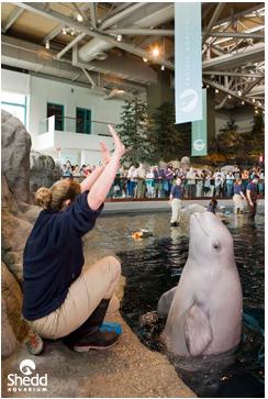 Unidentified beluga & trainer, Shedd Aquarium, Chicago, Il, May 23, 2009/Shedd Aqurium, flickr.com