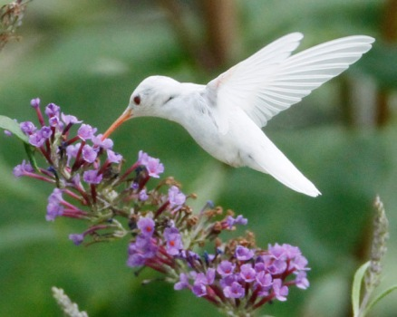 Albino ruby-throated hummingbird visits a butterfly bush, Staunton, Virginia, August 2012/The Shank Family, Nature Friend Magazine