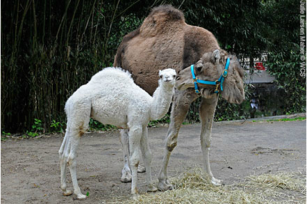 Male dromedary calf and mother, Bronx Zoo, New York, May 2, 2012/Julie Larsen Maher, Wildlife Conservation Society, Bronx Zoo