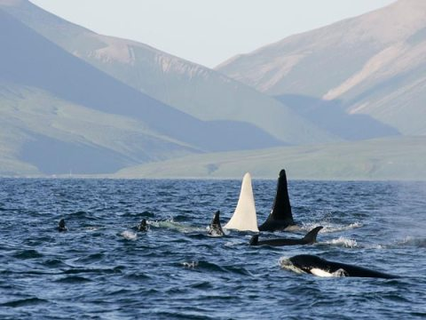 Iceberg, the white orca, with pod members off the Commander Islands, Eastern Russia, April, 2012/E. Lazareva, Far East Russia Orca Project (FEROP), National Geographic