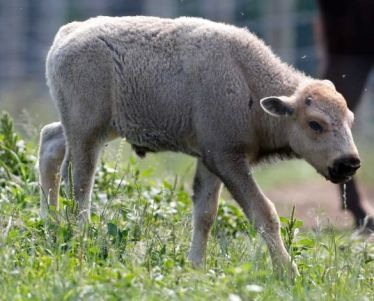 White bison calf, Mohawk Bison Farm, Goshen, Connecticut, July 18, 2012/Mike Groll, AP, Houston Chronicle