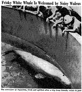 Unnamed beluga, captured in Canada, New York Aquarium, 1960/Ceta-base.com