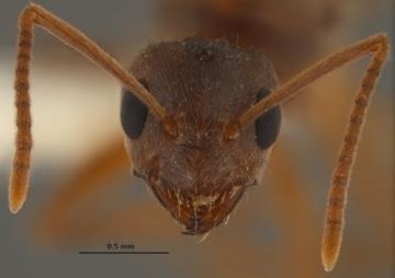 Nylanderia fulva, a.k.a. Crazy ant/Joe MacGown, Mississippi Entomological Museum, Design&Trend