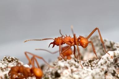 Brazilian leaf-cutting ants/Christopher Tranter, ctrander.com, livescience.com